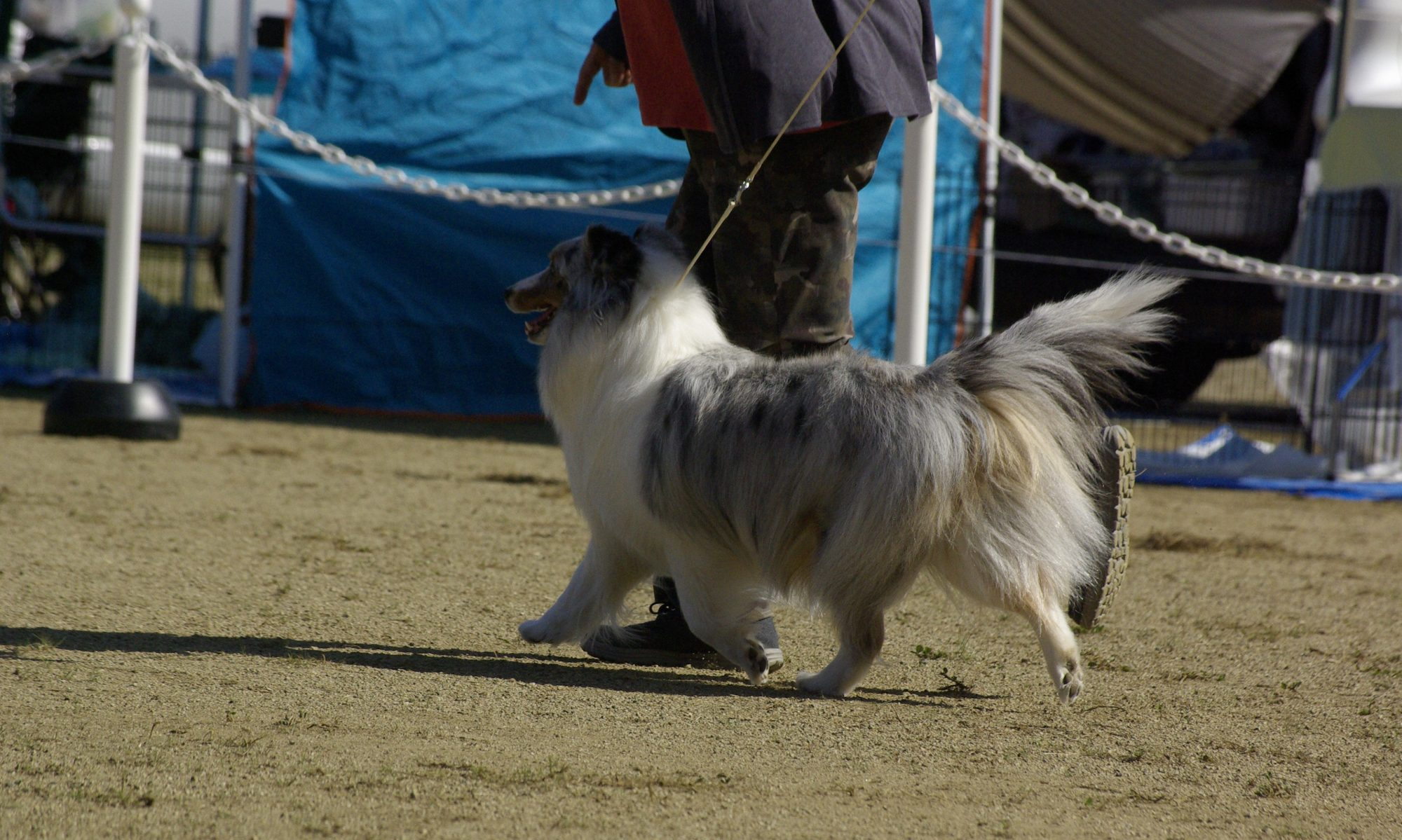 Sheltie with MAGIC